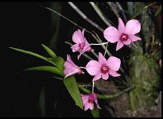 Queensland official flower